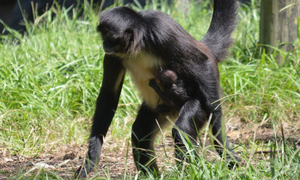 Critically Endangered Mexican Spider Monkey