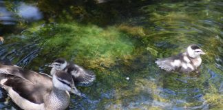Indian Pygmy Goslings at the Palm Beach Zoo