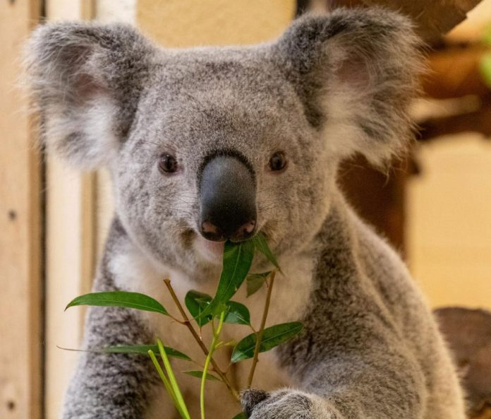 Queensland koala Sidney, the new addition to Palm Beach Zoo